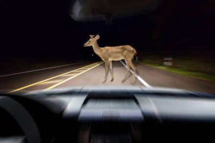 Zderzenie z dzikim zwierzęciem – kto zapłaci odszkodowanie?